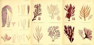 margaret-gatty-seaweeds