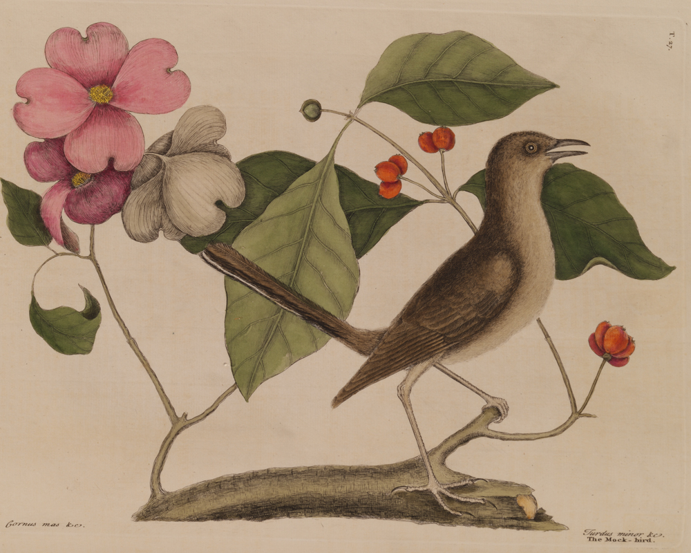 Mockingbird, handcolored engraving from Mark Catesby's The Natural History of Carolina, Florida, and the Bahama Islands. (London, 1771).