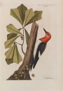 Red-headed Woodpecker Red-headed woodpecker,  Mark Catesby (1682 – 1749)